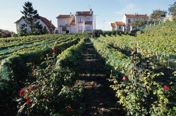 Suresnes, la vigne au cœur de la ville. © Didier Raux
