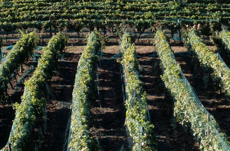 Suresnes possède le plus grand vignoble d'Ile-de-France, d'une superficie d'un hectare. © Didier Raux