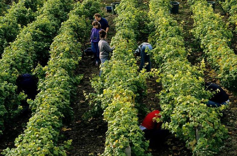 Suresnes, la vigne au cœur de la ville. Le vignoble municipal de Suresnes s'étend sur le flanc du Mont-Valérien.  © Didier Raux