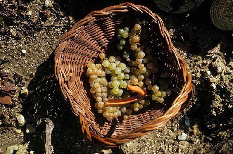 Parmi les variétés de raisin présentes, le chasselas, reconnaissable à ses feuilles tâchetées de jaune.© Didier Raux
