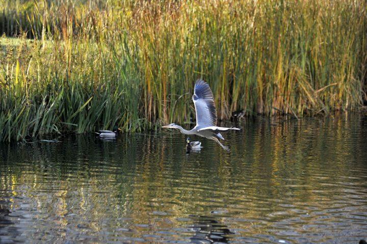 Dans le parc de Billancourt, le vol du héron ! © Photos Didier Raux